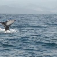 Las ballenas en Puerto López