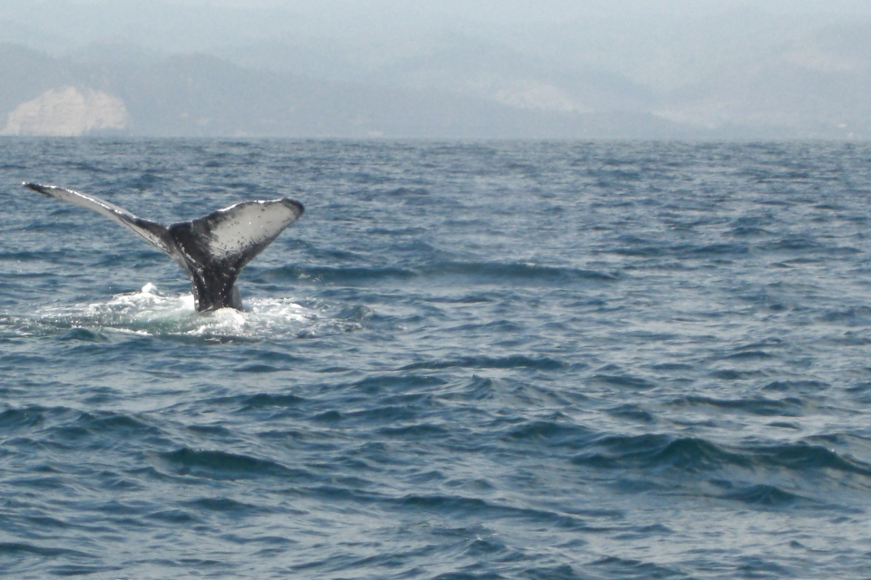 Whale watching in Puerto Lopez